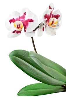 Czerwona i biała orchidea z liściem na białym tle