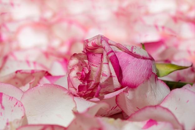 Czerwona i biała róża na różowym tle w płatki i krople wody makro