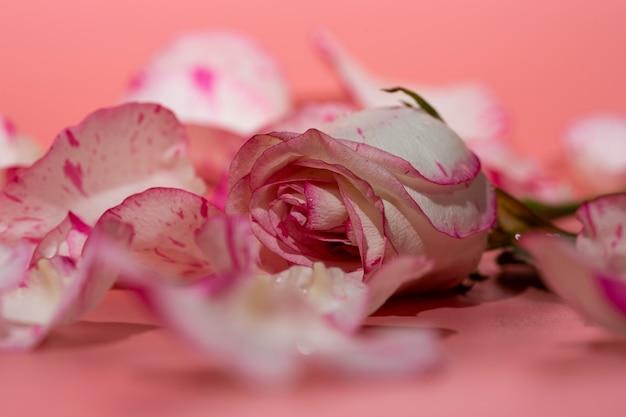 Czerwona i biała róża na różowym tle w płatki i krople wody z bliska