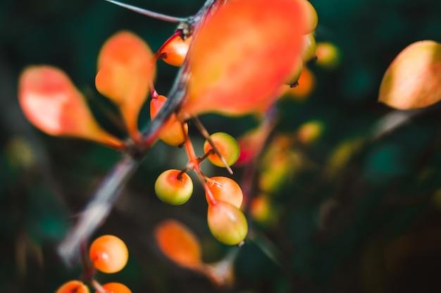 Czerwona jagoda na gałąź