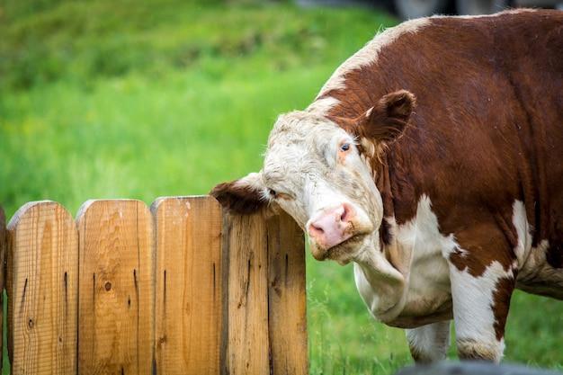 Czerwona krowa przy ogrodzeniem