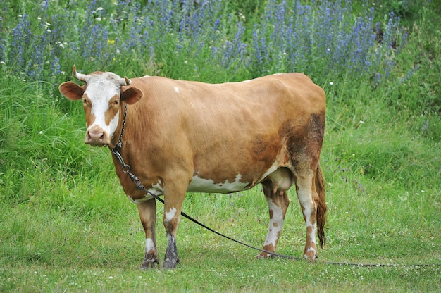 Czerwona krowa z rogami wypas na uwięzi