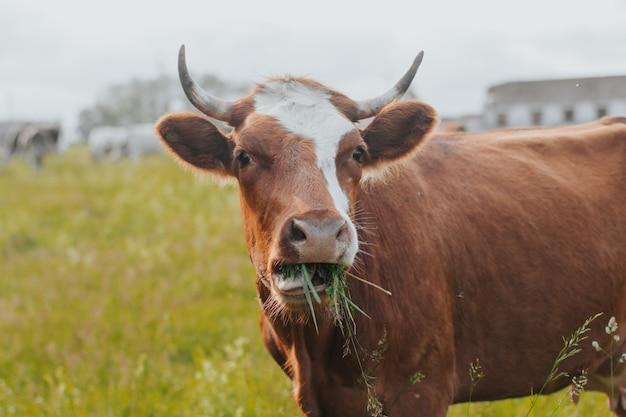 Czerwona krowa żuje trawę na pastwisku. krowa z bliska