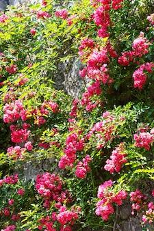 Czerwona kwitnąca roślina dekoracyjna na kamiennej ścianie