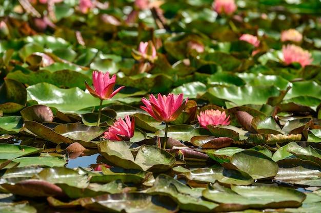 Czerwona lilia wodna aka nymphaea alba f. rosea w jeziorze