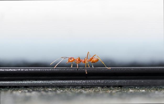 Czerwona mrówka chodzi po parapecie.