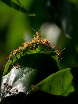 Czerwona mrówka i zielony liść