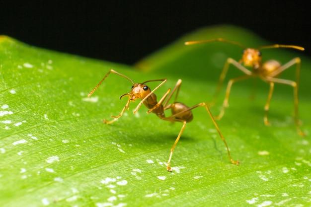 Czerwona mrówka lub zielona drzewna mrówka na zielonym liściu