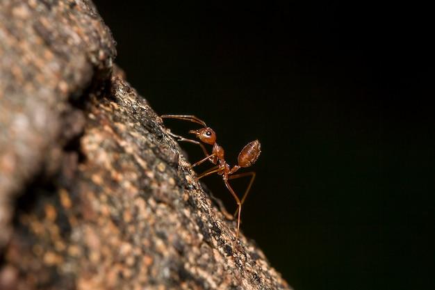Czerwona mrówka na drzewie