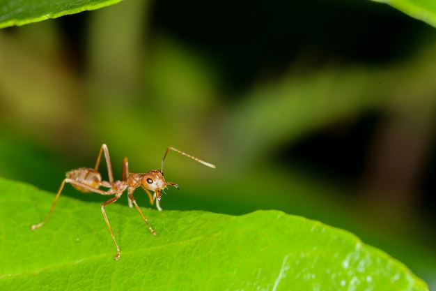 Czerwona mrówka na świeżym liściu w naturze