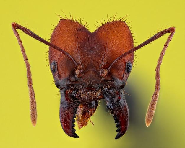 Czerwona mrówka na żółtym tle