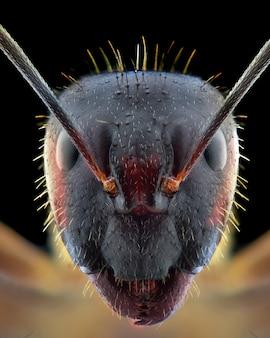 Czerwona mrówka twarz makro