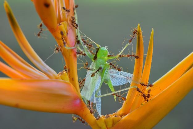 Czerwona mrówka zdobycz konik polny