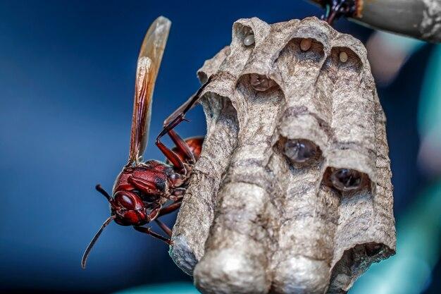 Czerwona osa na szczycie gniazda z bliska