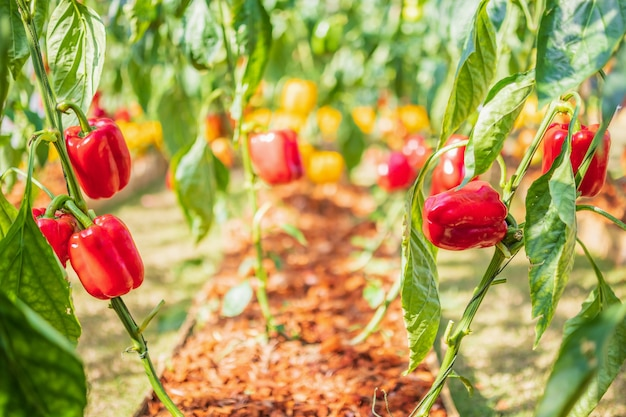 Czerwona papryka rosnąca w ekologicznym ogrodzie