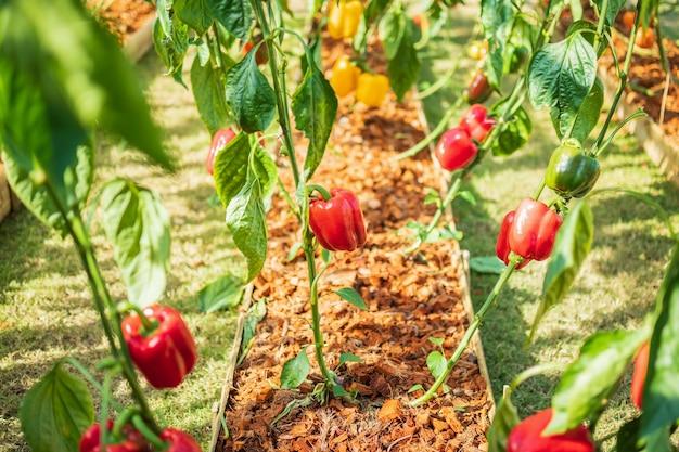 Czerwona papryka rośnie w ogrodzie ekologicznym
