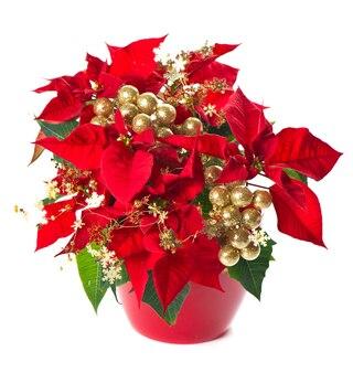 Czerwona poinsecja. boże narodzenie kwiat ze złotą dekoracją na białym tle