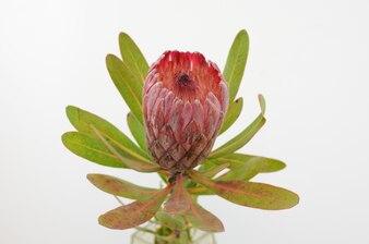 Czerwona protea kwiatu wiązka na białym odosobnionym tle