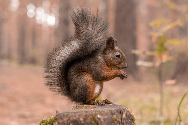 Czerwona puszysta wiewiórka siedzi na pniu w jesiennym lesie i skubie orzechy. ścieśniać.