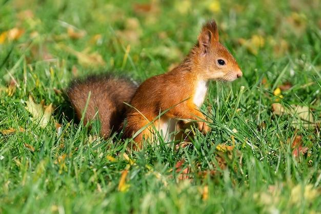 Czerwona puszysta wiewiórka stoi na tylnych łapach na zielonej soczystej młodej trawie z żółtymi jesiennymi liśćmi i patrzy w bok w słoneczną pogodę, z bliska. portret dzikich zwierząt