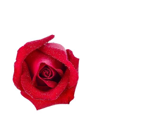 Czerwona róża i kropelki wody na białym tle