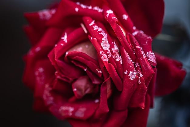 Czerwona róża jest pokryta szronem w wczesny mroźny poranek.