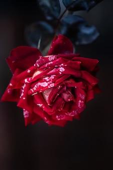 Czerwona róża jest pokryta szronem we wczesny mroźny poranek.