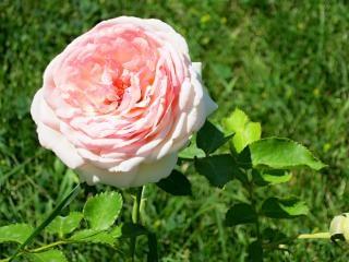 Czerwona róża lato ramo