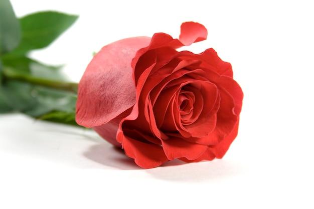 Czerwona róża na białym backround