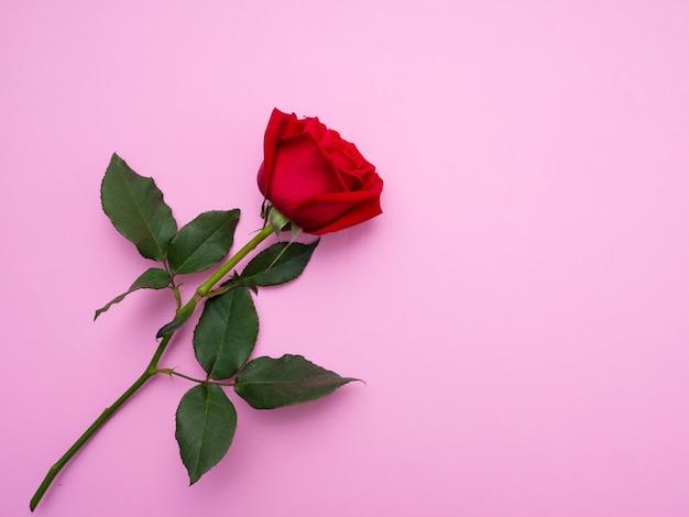 Czerwona róża na białym tle na różowym tle.