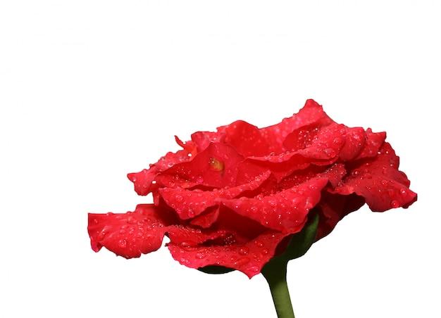 Czerwona róża na białym tle nad białym tle