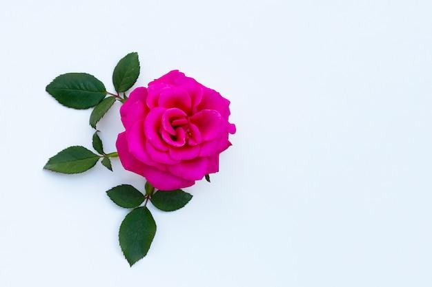 Czerwona róża na białym tle.