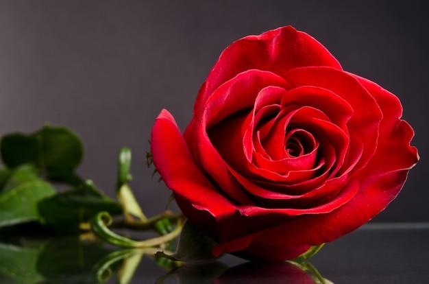 Czerwona róża na ciemnym tle