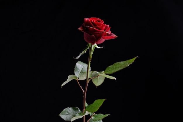 Czerwona róża przed czarnym tłem