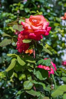 Czerwona róża w ogrodzie