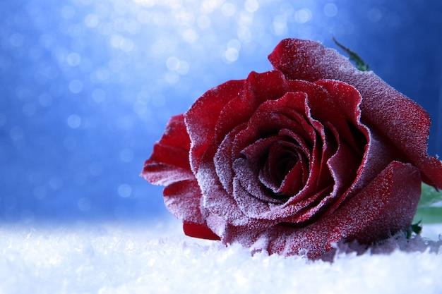 Czerwona róża w śniegu
