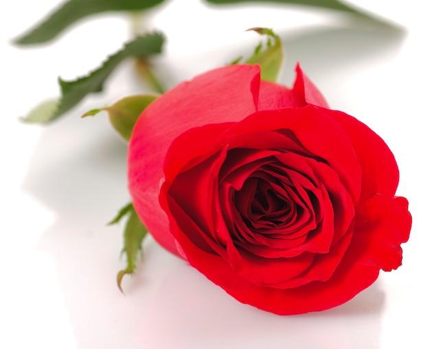 Czerwona róża z bliska na białym tle