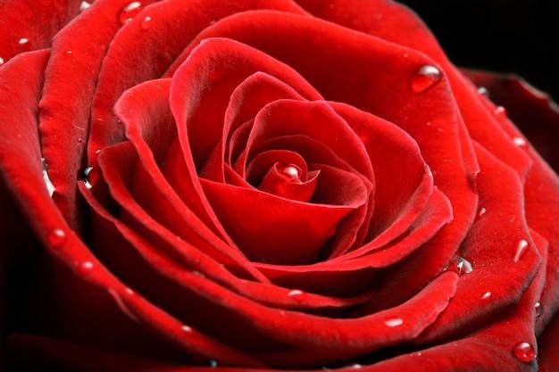 Czerwona róża z bliska