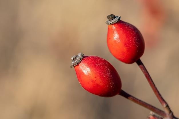 Czerwona róża z dzikiej róży. rosa canina, potocznie zwana różą dla psa. natura