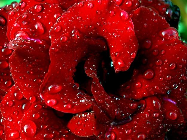 Czerwona róża z kroplami wody kwiat pod deszczem wiosenny rozkwit