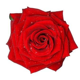 Czerwona róża z kropli wody - na białym tle