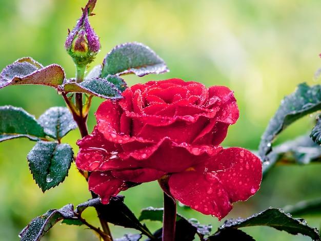 Czerwona róża z pąkiem w ogrodzie po deszczu. krople rosy na krzakach róży