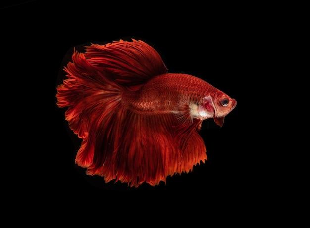 Czerwona ryba betta lub bojownik syjamski na białym tle, bojownik tajski