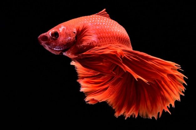 Czerwona ryba walcząca.