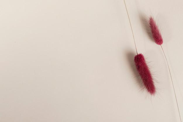 Czerwona suszona trawa ogona królika na beżowym tle makieta