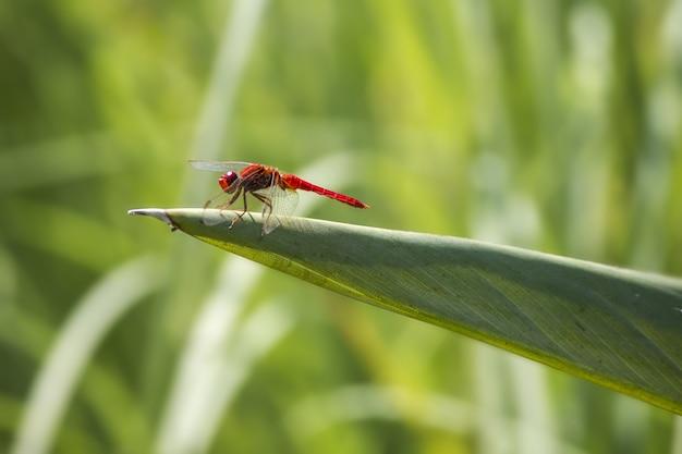 Czerwona ważka na roślinie z bliska