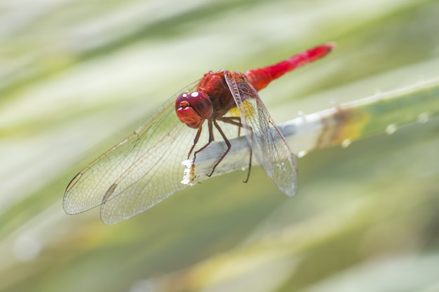 Czerwona ważka siedzi na liściu z bliska