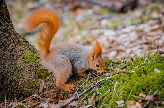 Czerwona wiewiórka je orzechy i żołędzie w lesie