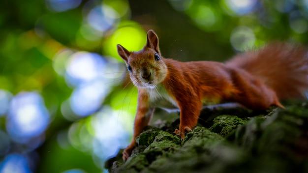 Czerwona wiewiórka na drzewie z pięknym bokeh. niska głębia ostrości.