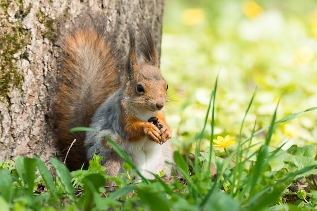 Czerwona wiewiórka na drzewie
